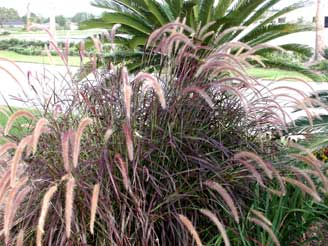 League city area news online gardening for Ornamental grass with purple plumes
